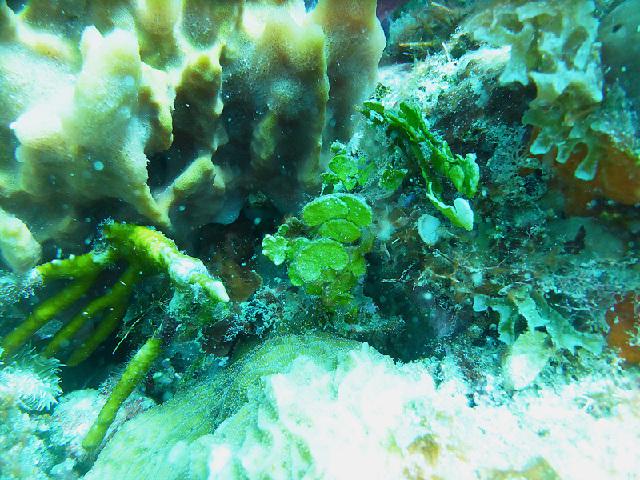 Image of <i>Halimeda gracilis</i>