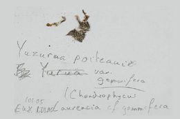 Image of <i>Laurencia papillosa</i>