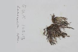 Image of <i>Chondria cnicophylla</i> (Melvill) De Toni 1903