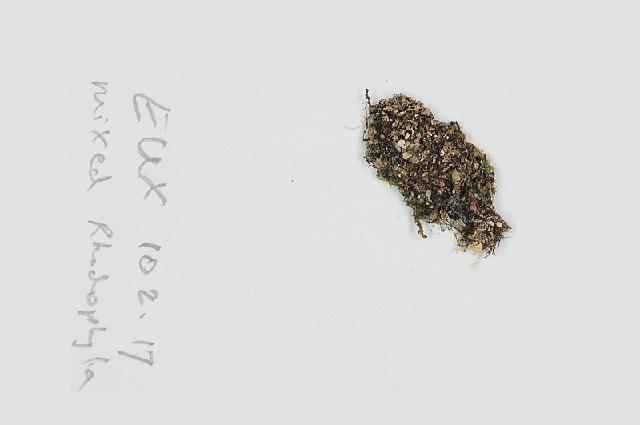 Image of <i>Herposiphonia secunda</i>