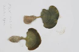 Image of <i>Udotea flabellum</i>