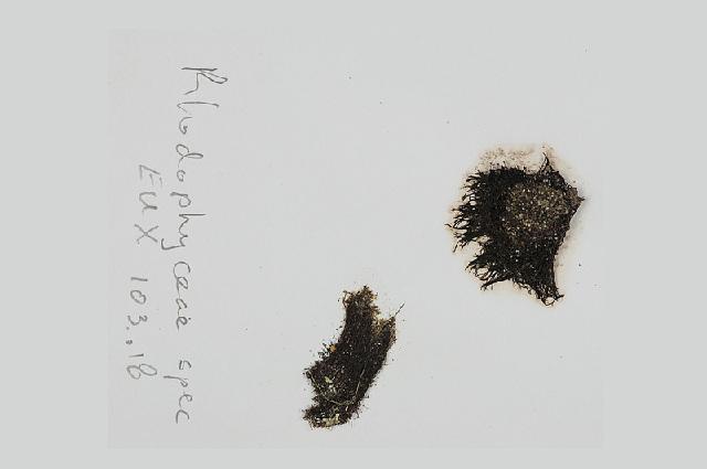 Image of <i>Lophosiphonia obscura</i>