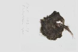 Image of <i>Lophosiphonia cristata</i> Falkenberg 1901