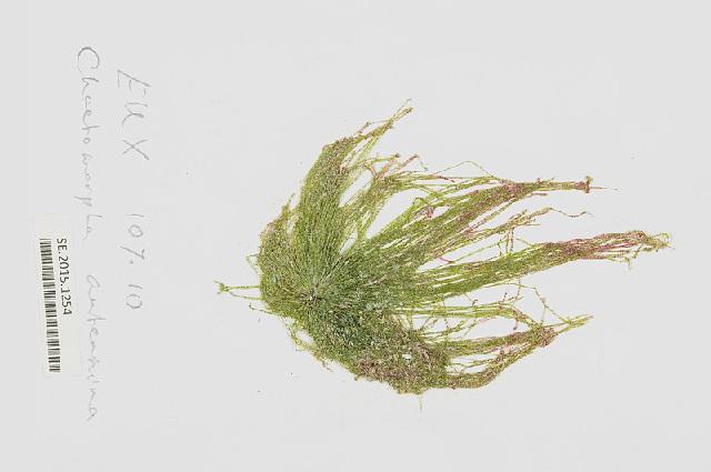 Image of <i>Chaetomorpha anteninna</i>