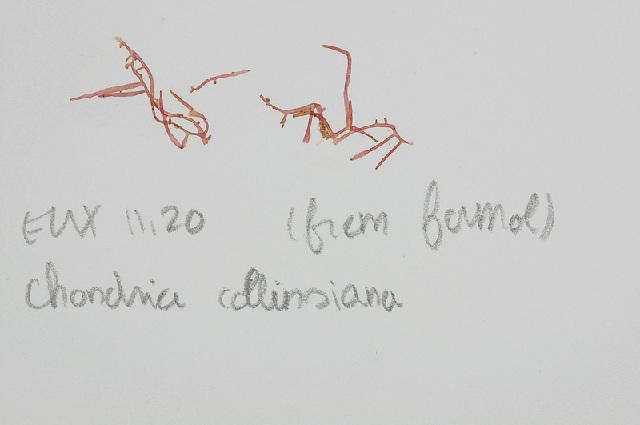 Image of <i>Chondria collinsiana</i>