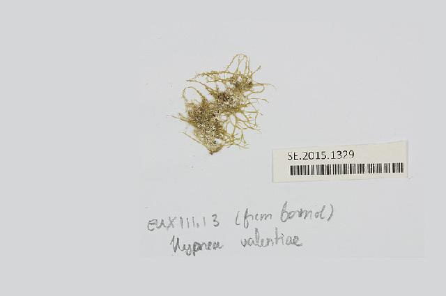Image of <i>Hypnea valentiae</i>