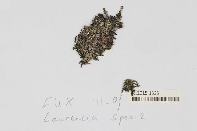 Image of <i>Laurencia gemmifera</i>