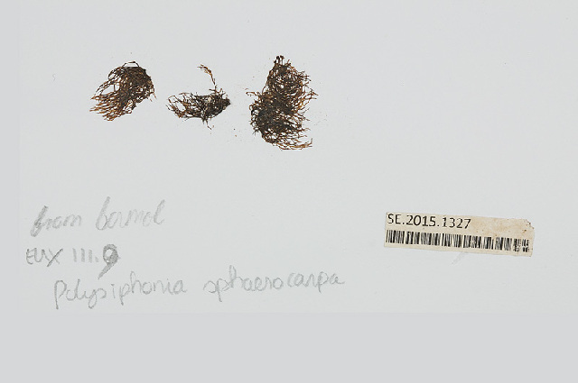 Image of <i>Polysiphonia sphaerocarpa</i>