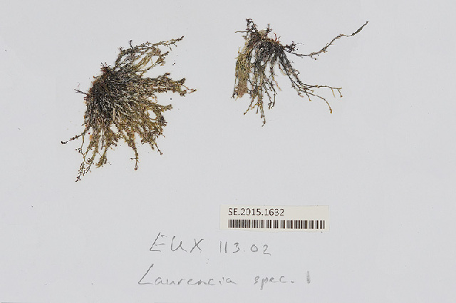 Image of <i>Laurencia obtusa</i>