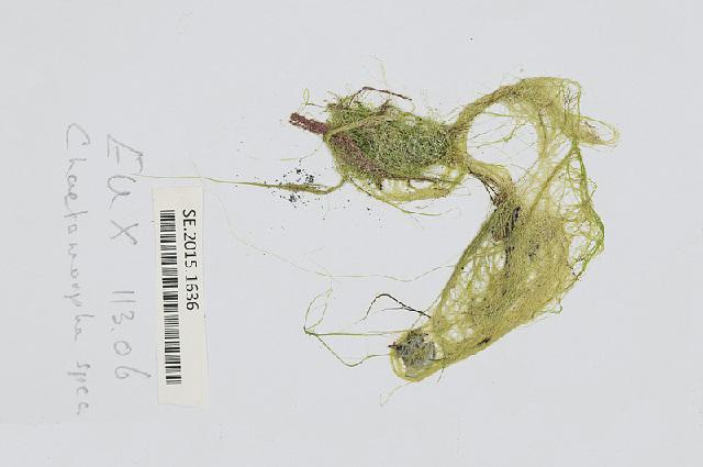 Image of <i>Chaetomorpha gracilis</i>