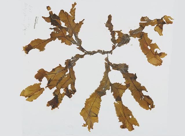 Image of <i>Dictyopteris jolyana</i> E. C. Oliveira & R. P. Furtado 1978