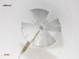 Image of <i>Acetabularia schenckii</i>