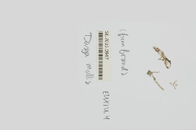 Image of <i>Dasya mollis</i> Harvey 1853