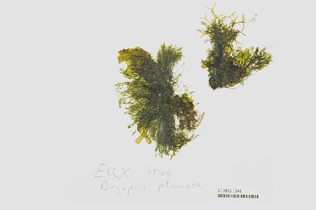 Image of <i>Bryopsis pennata</i>