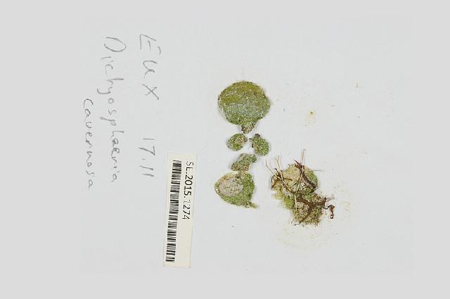 Image of <i>Dictyosphaeria cavernosa</i>