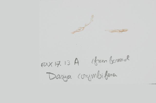 Image of <i>Dasya corymbifera</i>