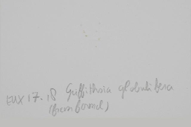 Image of <i>Griffithsia globulifera</i>