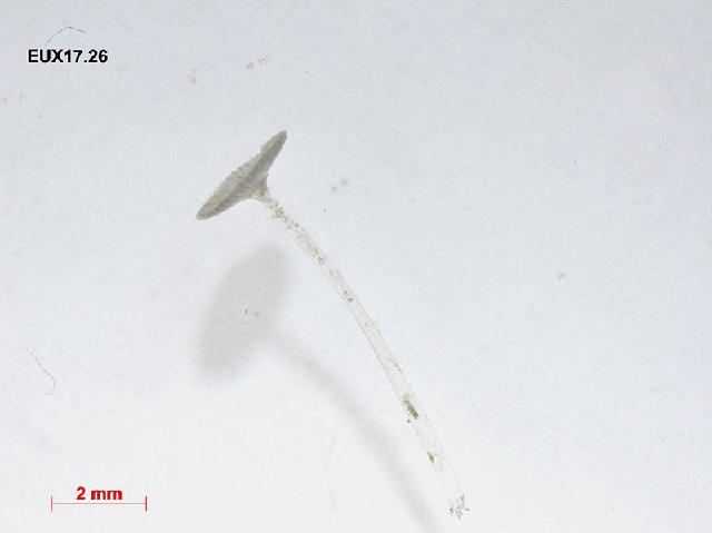 Image of <i>Acetabularia crenulata</i>