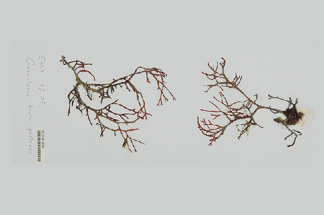 Image of <i>Gracilaria bursa-pastoris</i>