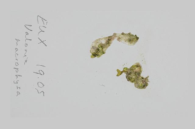 Image of <i>Valonia macrophysa</i>