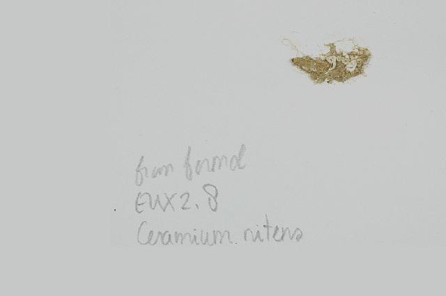 Image of <i>Ceramium nitens</i>