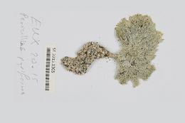Image of <i>Penicillus pyriformis</i>