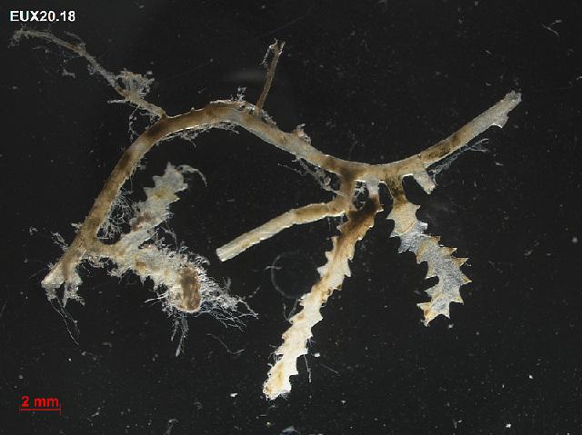 Image of Sawblade Caulerpa