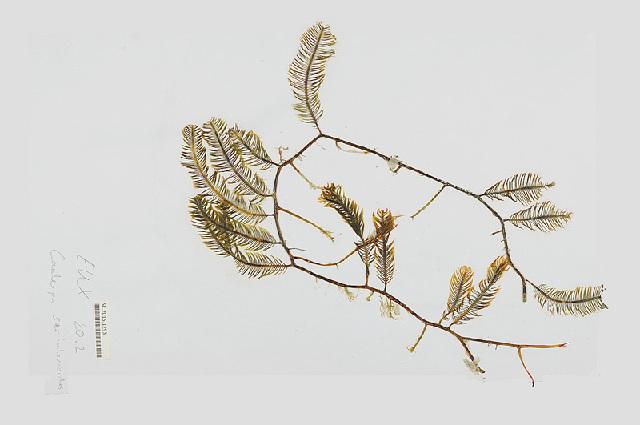 Image of <i>Caulerpa sertularioides</i>