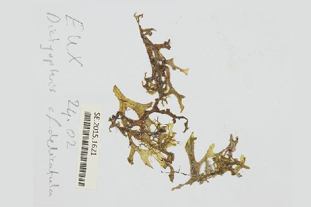 Image of <i>Dictyopteris delicatula</i>
