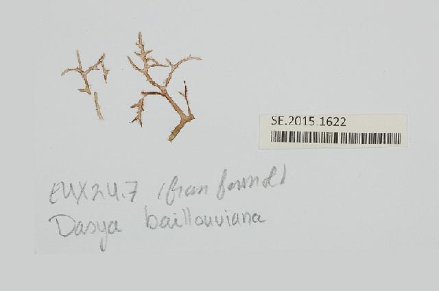 Image of <i>Dasya baillouviana</i>