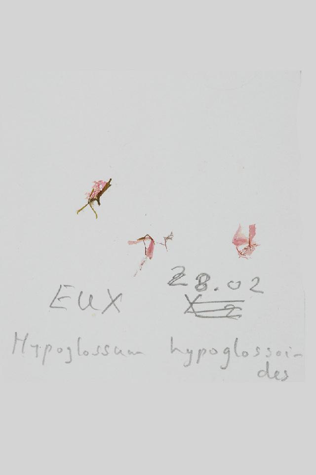 Image of <i>Hypoglossum hypoglossoides</i>