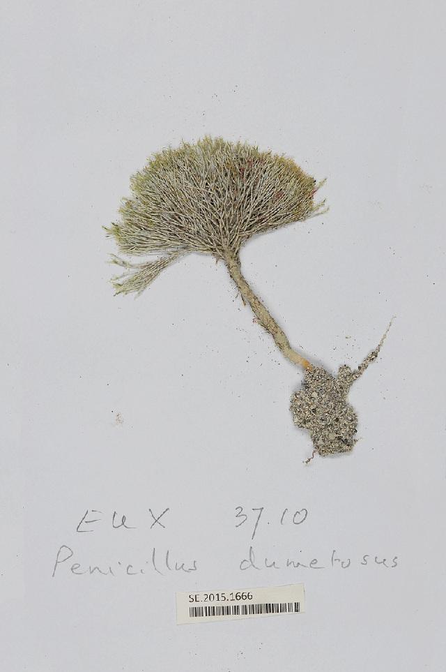 Image of <i>Penicillus lamourouxii</i>
