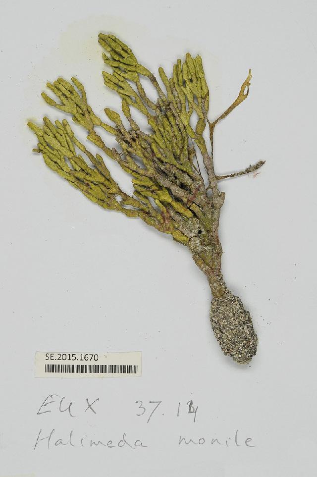 Image of <i>Halimeda monile</i>