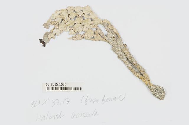 Image of <i>Halimeda incrassata</i>