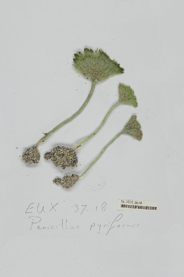 Image of <i>Penicillus capitatus</i>