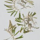 Image of <i>Halophila stipulacea</i> (Forssk.) Asch.