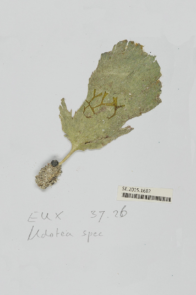 Image of <i>Udotea spinulosa</i>