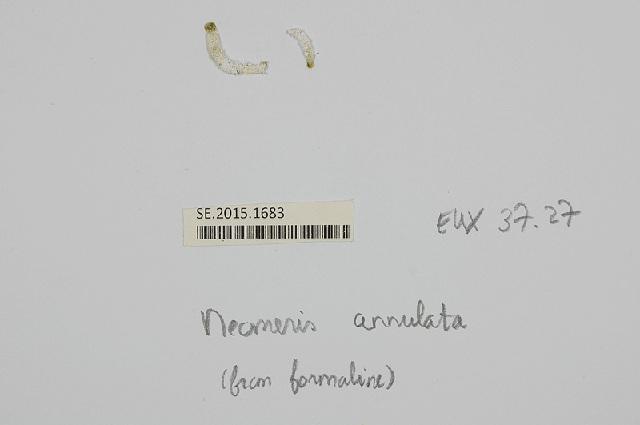 Image of <i>Neomeris annulata</i> Dickie 1874