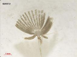 Image of <i>Acetabularia caliculus</i>