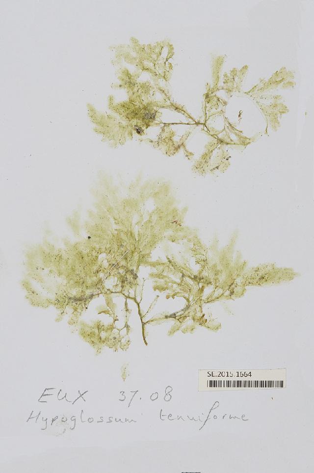 Image of <i>Hypoglossum tenuifolium</i> (Harvey) J. Agardh 1898