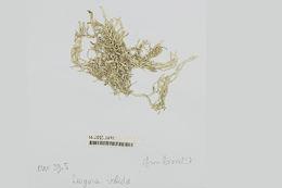 Image of <i>Titanophycus validus</i>