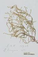 Image of <i>Ganonema farinosum</i>