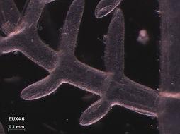 Image of <i>Struvea elegans</i>