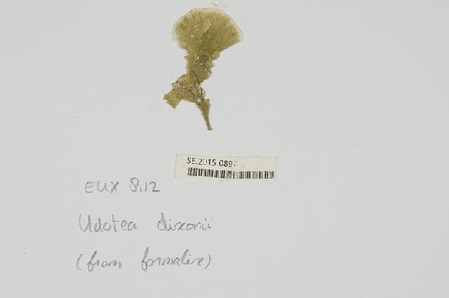 Image of <i>Udotea dixonii</i>
