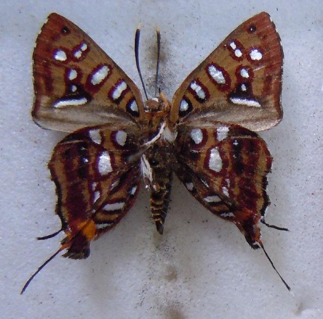 Image of <i>Aphnaeus cameruna</i>