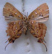 Image of <i>Aphnaeus safiani</i>