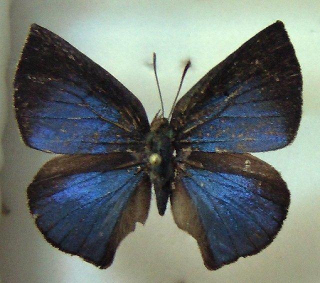 Image of <i>Aslauga lamborni</i> Bethune-Baker 1914