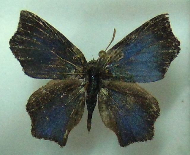 Image of <i>Aslauga vininga</i> (Hewitson 1875)