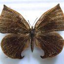 Image of <i>Aslauga pandora</i> Druce 1913