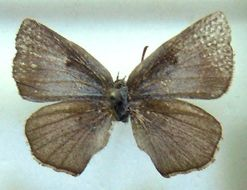Image of <i>Aslauga purpurascens</i> (Holland 1890)